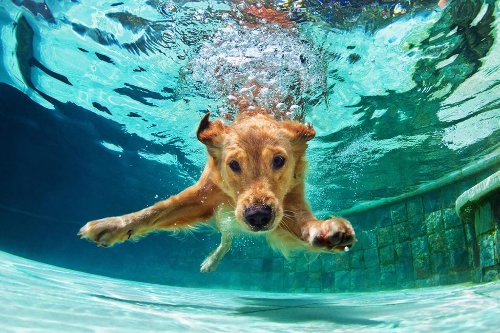 golden-retriever-diving-to-bottom-of-pool-lg